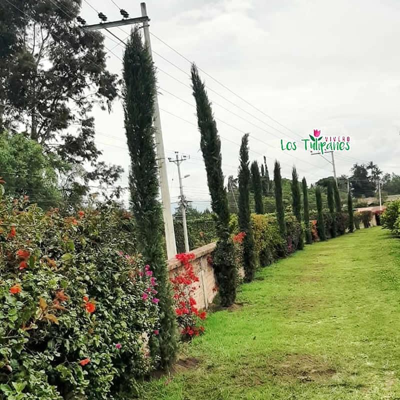 Ciprés Vela ideal para la decoración de parques y jardines