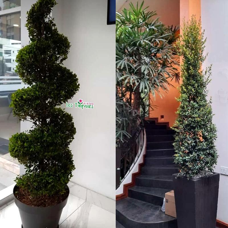 La Eugenia myrtifolia es una planta ideal para realizar setos o paredes verdes