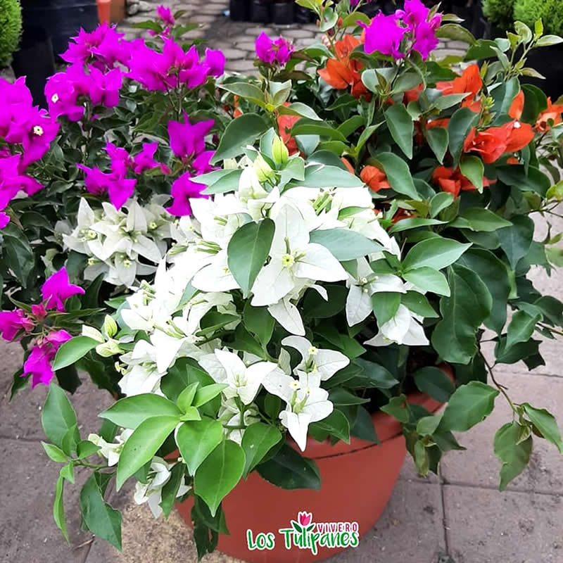 La Bugambilla, conocida como la flor del Verano