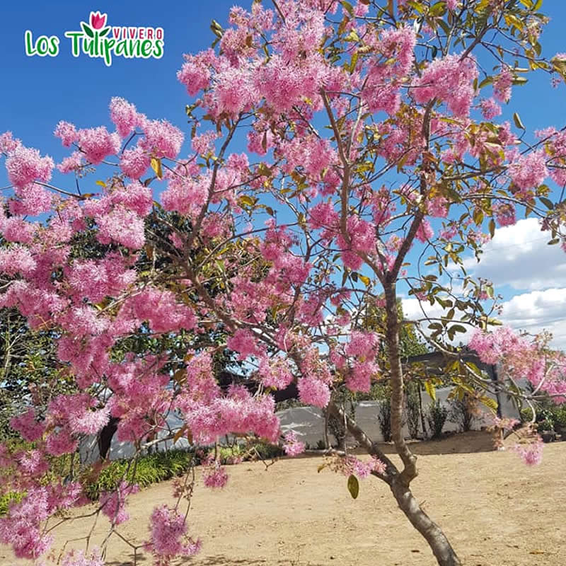 El árbol de arupo, es una planta nativa del Ecuador