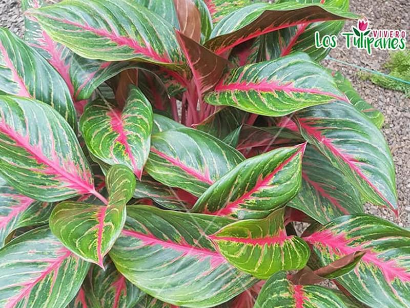 La Aglaonema es una de las plantas más elegantes