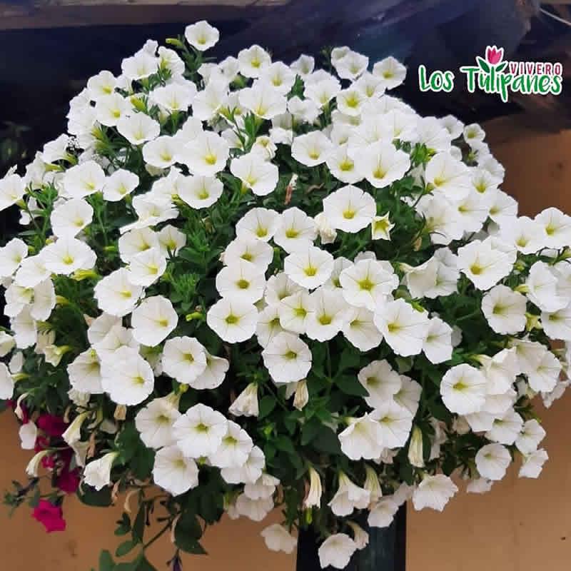La Petunia es unas de las flores más hermosa por sus colores y la bella forma de su flor.