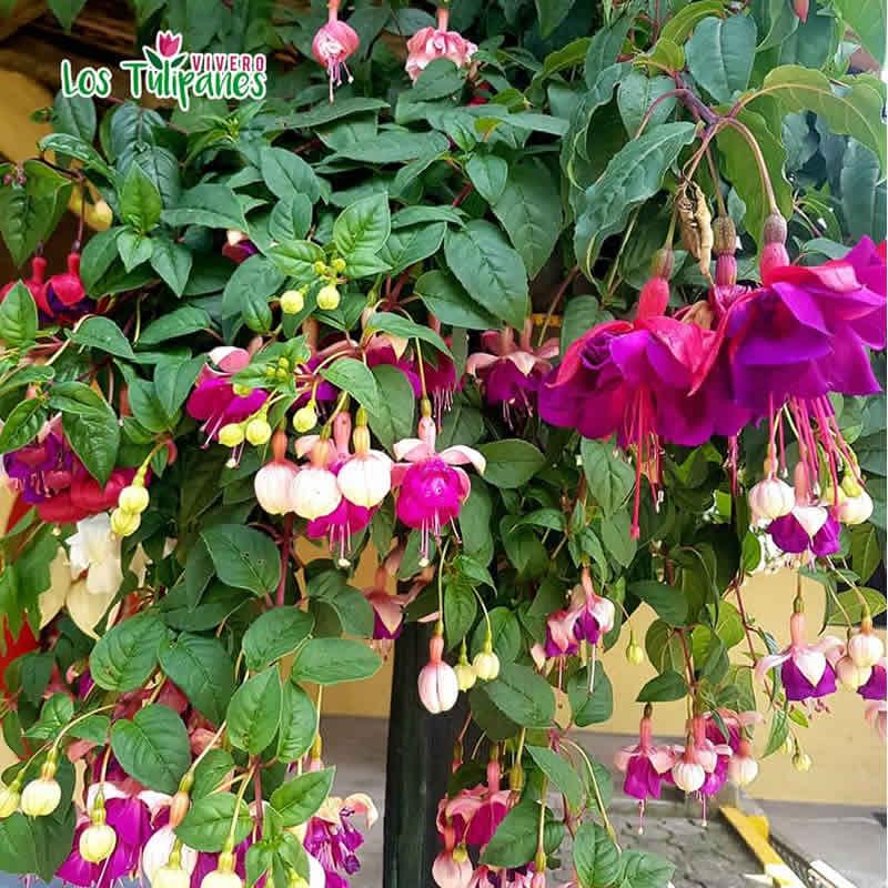 Fuchsias: exóticas flores que crecen al revés