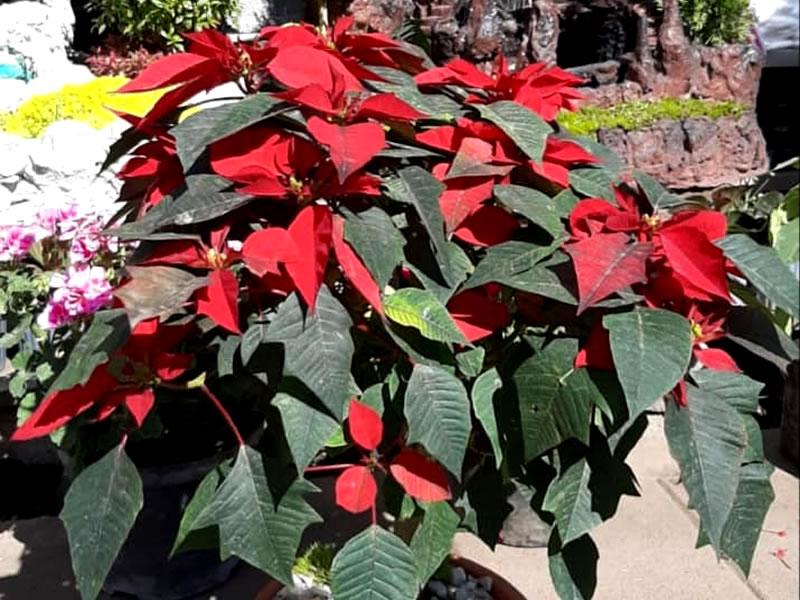 Poinsettias o Flor de Navidad